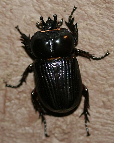 Black scarab beetle w/ 2 horns - Phileurus truncatus
