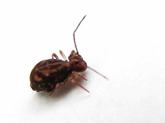 Vashon BioBlitz 2012 - Dicyrtomina? - Ptenothrix beta