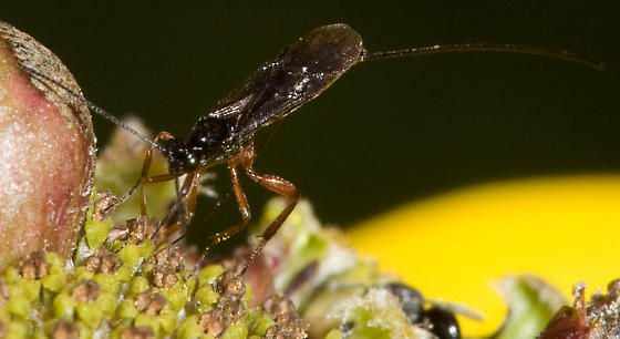 Wasp ovipositing on flower - female
