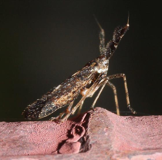 Treehopper - Copicerus irroratus
