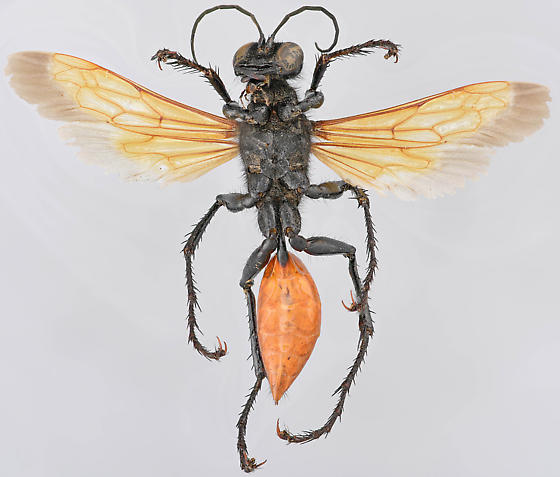 Wasp, spread ventral - Palmodes praestans - female