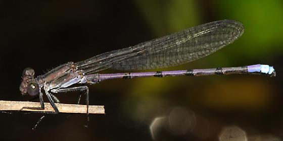 Violet Dancer - Argia fumipennis - male
