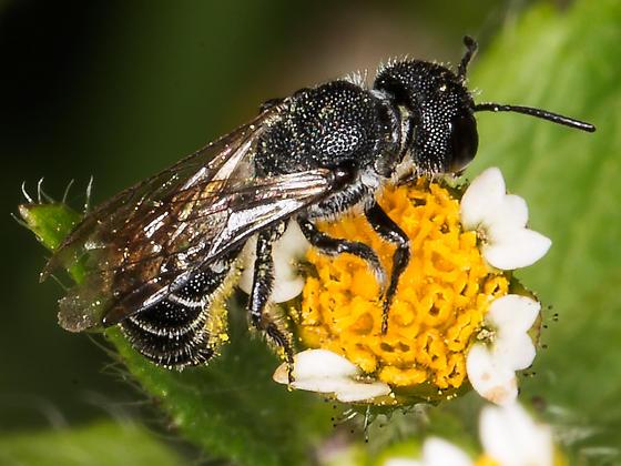 Resin Bee - Heriades carinata - female