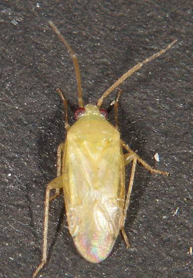 Unknown Miridae