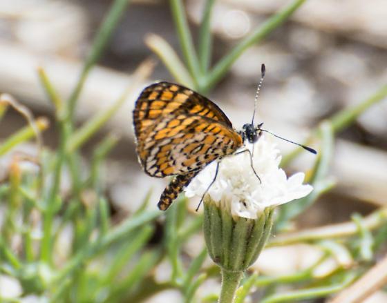 Butterfly at Anza Borrego Palm Canyon - Microtia dymas