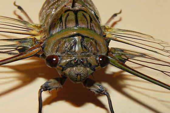 TX Cicada Species? - Quesada gigas