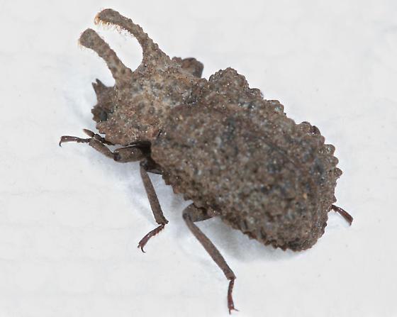 BG2182 C2677 - Bolitotherus cornutus - male