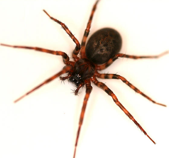 Black and brown spider with banded legs. - Cybaeus - female