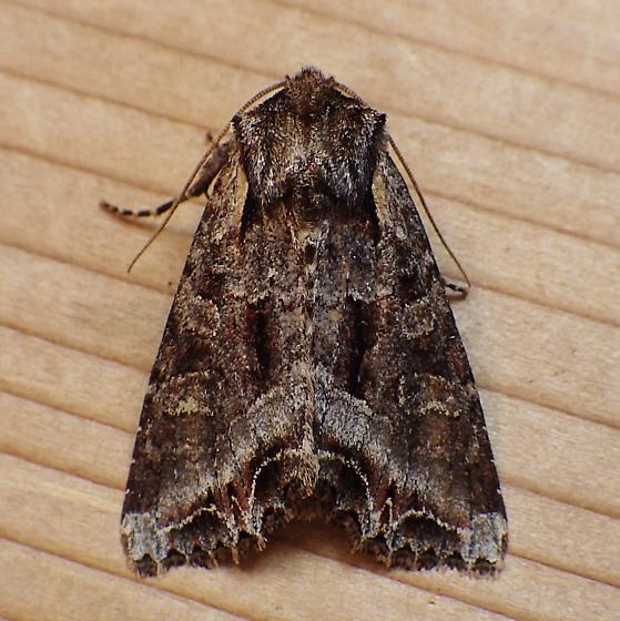 Noctuidae: Lacanobia grandis - Lacanobia grandis
