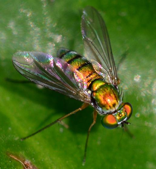 Condylostylid Long-legged Fly?