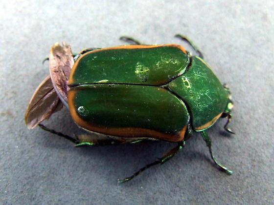 Green June Beetle (Cotinis nitida) - Cotinis nitida