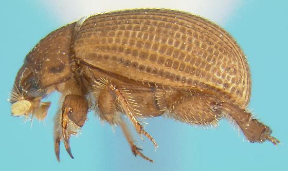 Enigmatic scarab beetle - Glaresis inducta