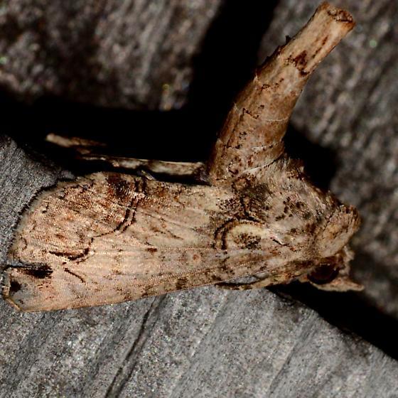Large Paectes - Paectes abrostoloides