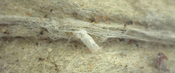 Midge emerging from midrib of Antennaria plantaginifolia - Neolasioptera