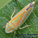 Leafhopper 1 - Graphocephala versuta