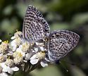 Mating Blues - Leptotes marina - male - female