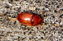 Little orange bug - Epuraea