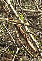 What bug please? - Anisomorpha buprestoides - male - female