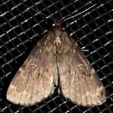Perhaps another Idia lubricalis? - Idia lubricalis