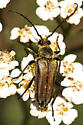 Anoplodera chrysocoma ? - Lepturobosca chrysocoma