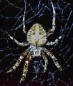 Spider - Neoscona crucifera