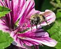 Just knee deep in the pollen - Bombus