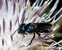 Blue Metallic Bee - Osmia chalybea