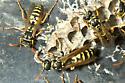 paper wasp - Polistes dominula