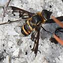 Exoprosopa fascipennis? - Exoprosopa