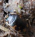Mystery Beetle - Omophron