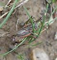 paired Red-legged Grasshoppers - Melanoplus femurrubrum - male - female