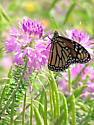Monarch on Cleome species - Danaus plexippus