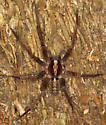 big purple spider - Ctenus captiosus