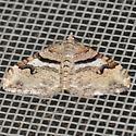 Moth - Xanthorhoe abrasaria