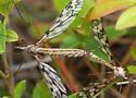 mating crane flies - Tipula trivittata - male - female