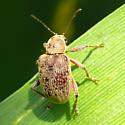 Leaf beetle - Fidia viticida