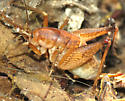 Cricket - Ceuthophilus - female