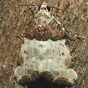 Moth - Cobubatha dividua