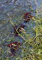 Crawfish migration! - Procambarus clarkii - male - female
