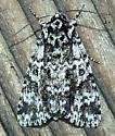 4/11/2020 moth - Acronicta noctivaga