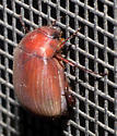 Small red scarab - Maladera castanea