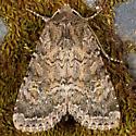 Glassy Cutworm Moth - Apamea devastator