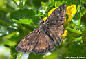 Duskywing - Which One? - Erynnis horatius