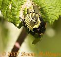 Beetle instar? - Chinavia hilaris