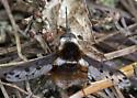 bee fly species - Bombylius pygmaeus