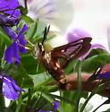 Clearwing moth - Hemaris gracilis
