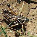 Plains Lubber Grasshopper - Brachystola magna - female