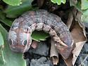 big brown caterpillar - Xylophanes tersa