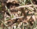 Chinese Mantis - Tenodera sinensis - female