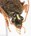 Chlaenius emarginatus - Chlaenius tricolor